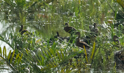 Wandering Whistling-Duck (Dendrocygna arcuata)
