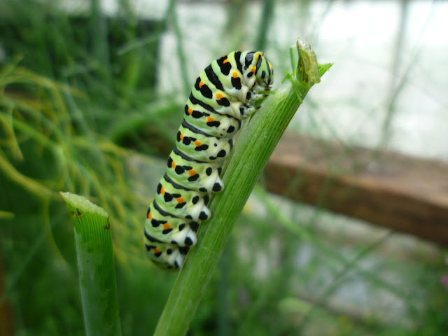 Swallowtail caterpillar via lovebirds vintage