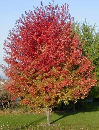 Autumn Blaze6