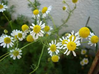 flores de la manzanilla para hacer infusión