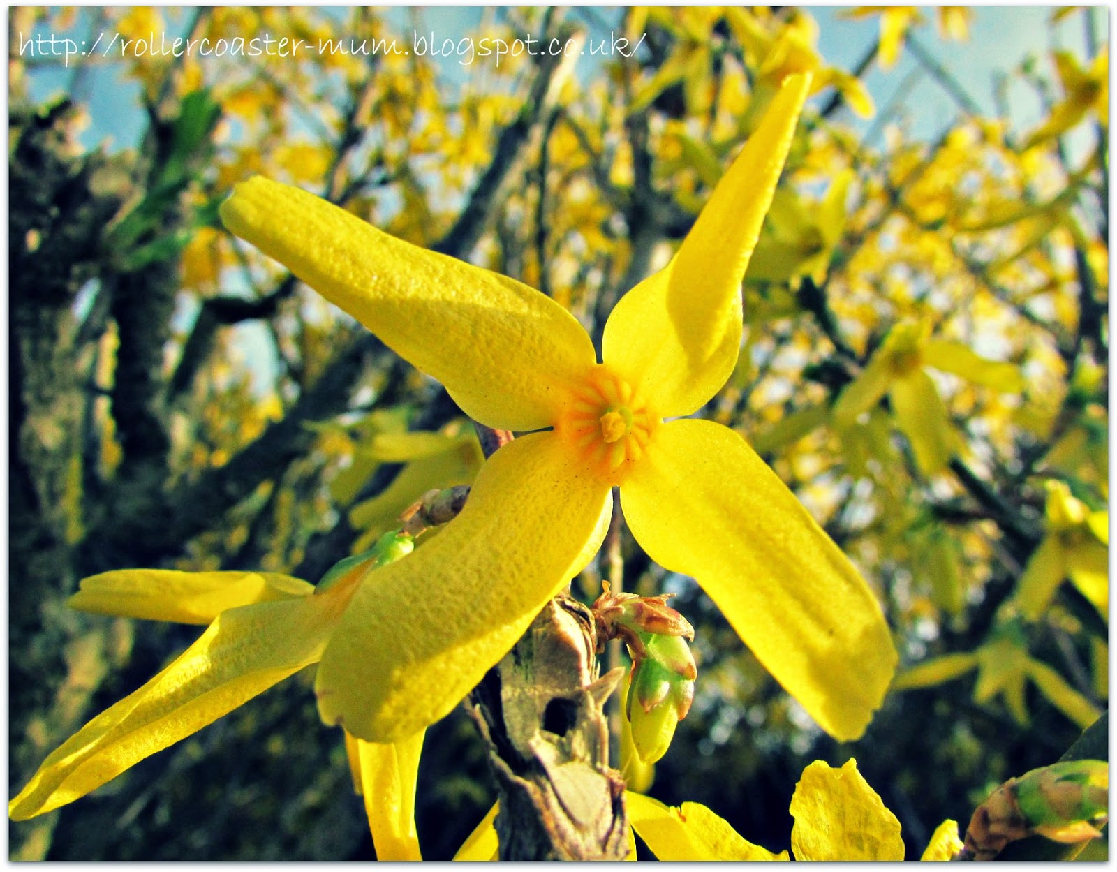 yellow flowers from Winter Jasmine