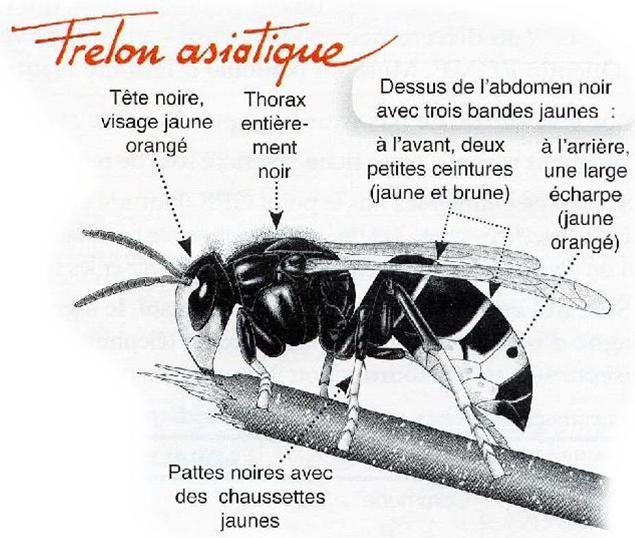 abat frelons et gu pes abeille gu pe frelon asiatique frelon europ en. Black Bedroom Furniture Sets. Home Design Ideas