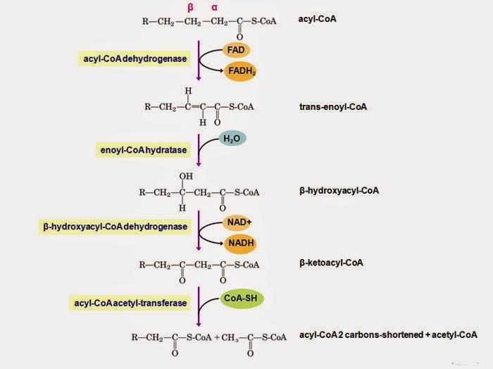 metabolisme-lemak.pdf