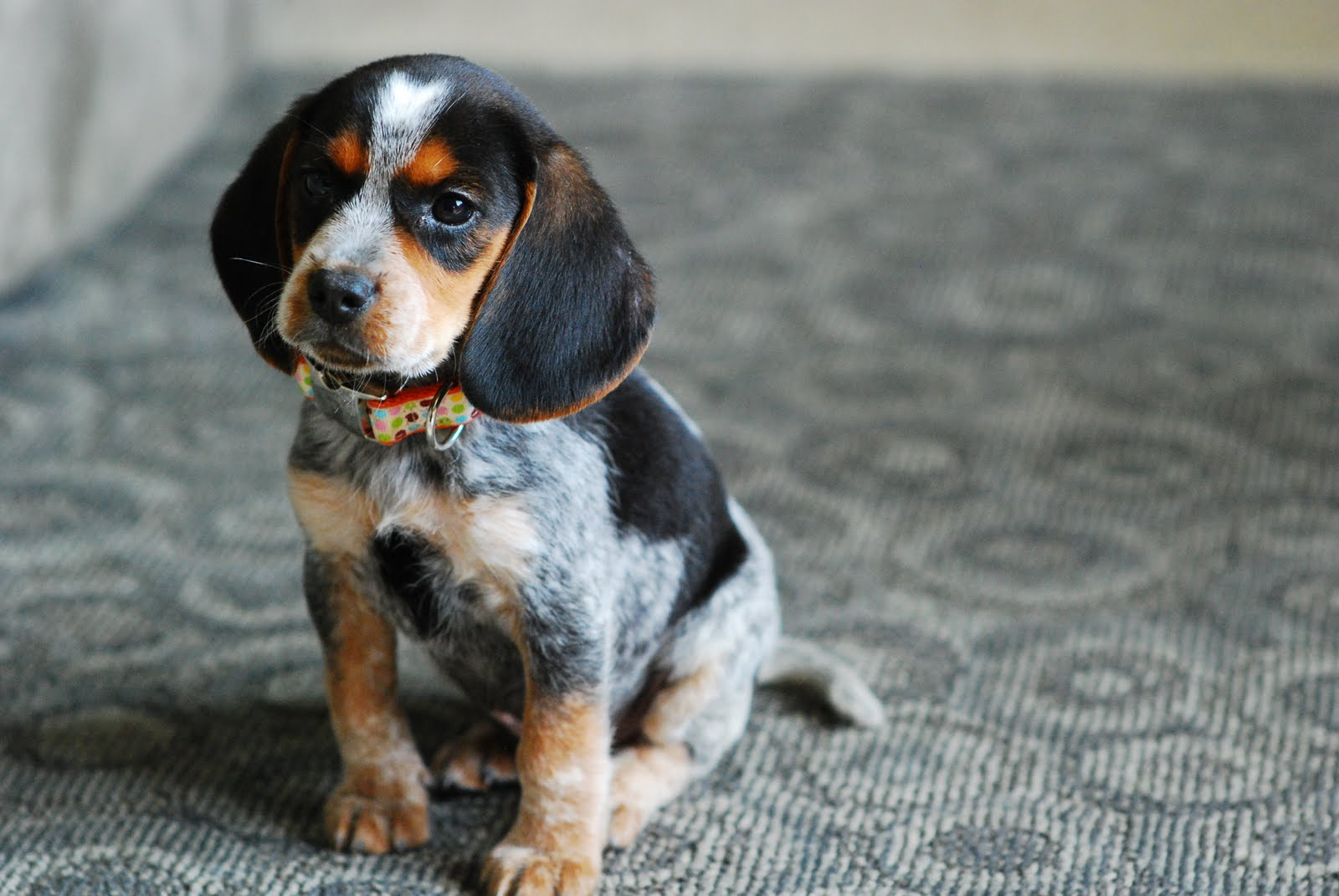 Blue Tick Beagle Pictures