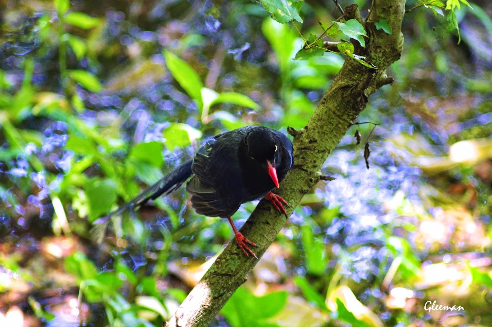 在水窪處玩水的台灣藍鵲。雞南山。