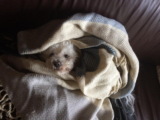 Dog wrapped in blankets and planning something evil