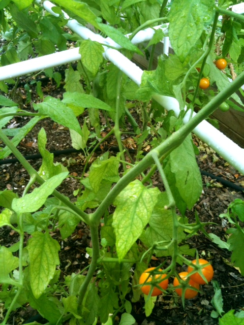 how to build a pvc tomato cage