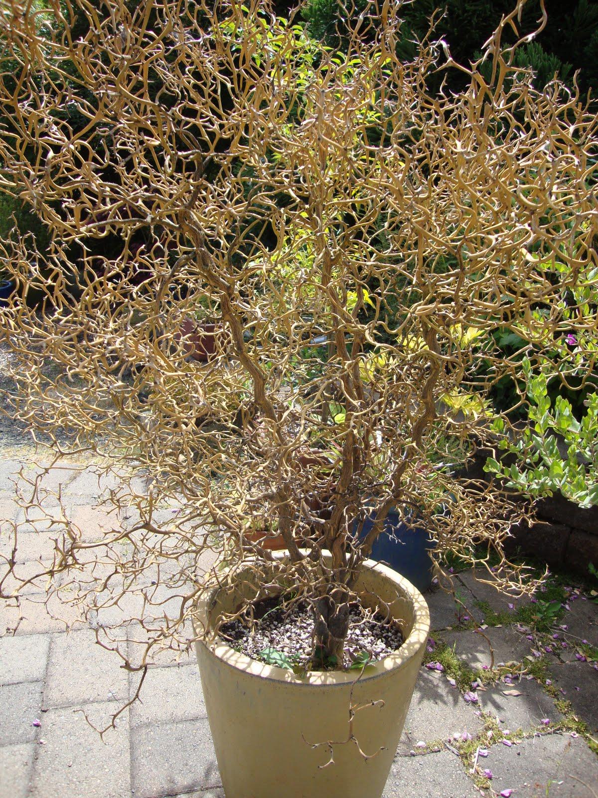 danger garden: Poncirus trifoliata, or Flying Dragon