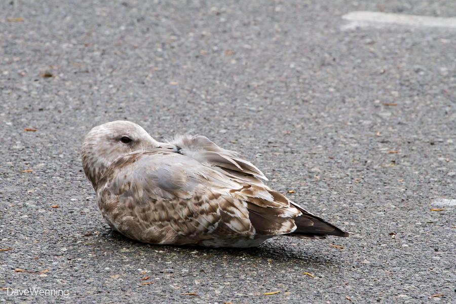 Juvenile Gull Snoozing