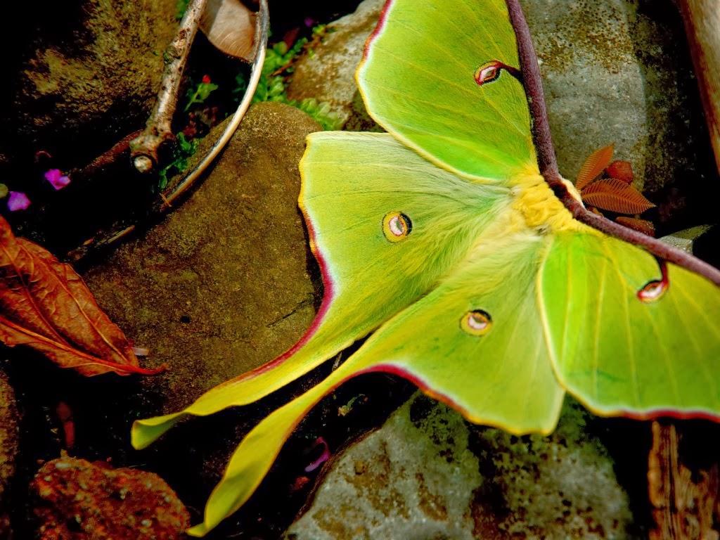 "<img src=""http://1.bp.blogspot.com/-G-4YsJH8VY0/UtrsEwyYDwI/AAAAAAAAI5o/U8c0xDpVg4Q/s1600/arkansas-luna-moth.jpeg"" alt=""arkansas luna moth"" />"