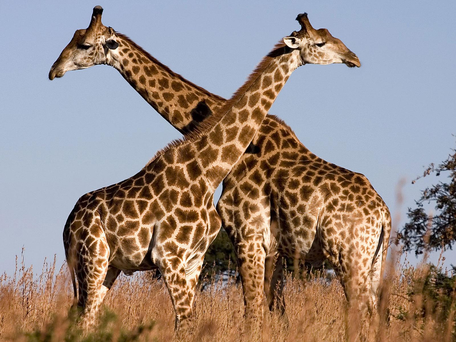 Superb image inside printable giraffe pictures