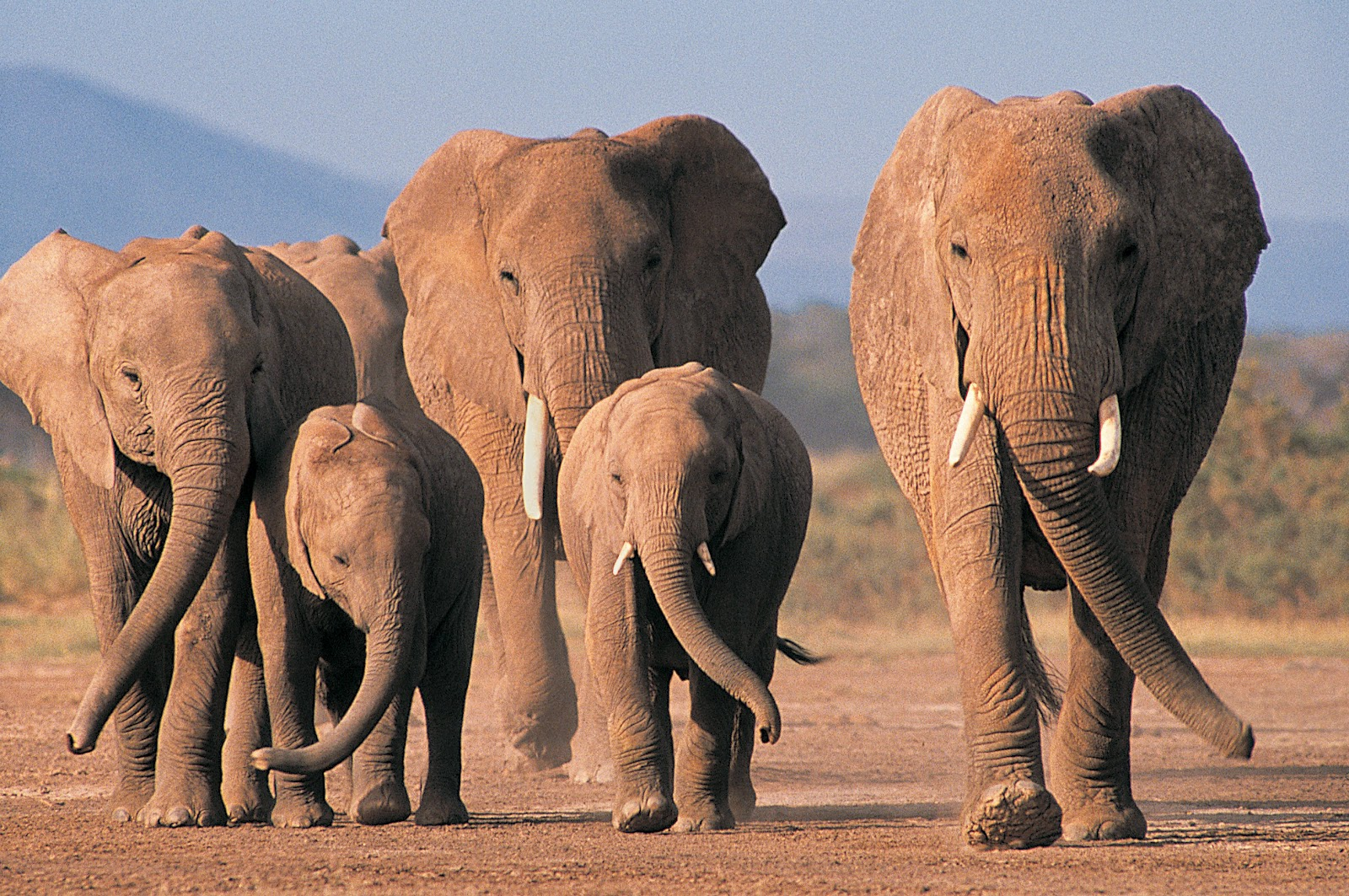 elephants wallpapers fun animals wiki videos pictures