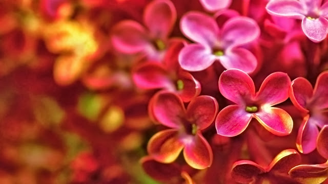 Red Lilac Flower
