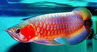 Perawatan dasar ikan arwana