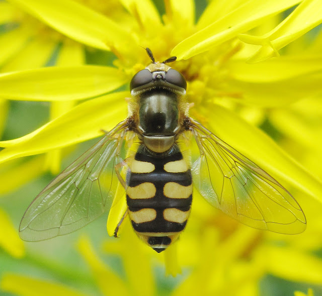 Hoverfly, Eupeodes corollae, on Common Ragwort, Senecio jacobaea, in Husseywell Park, Hayes, on Monday 25th July 2011.