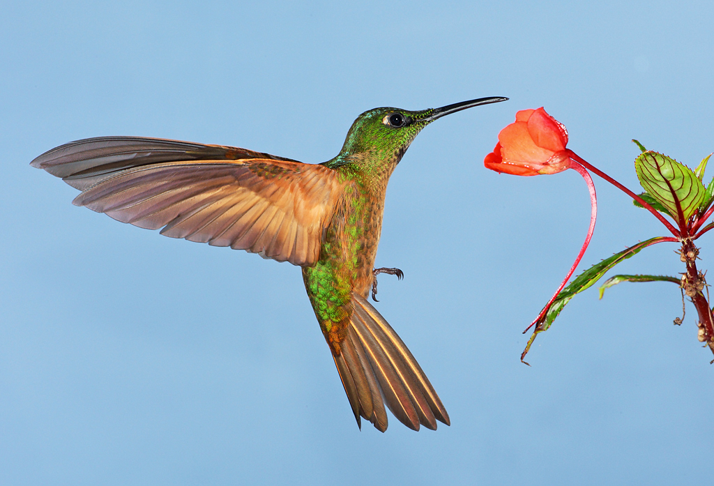 Colorful hummingbirds flying - photo#3