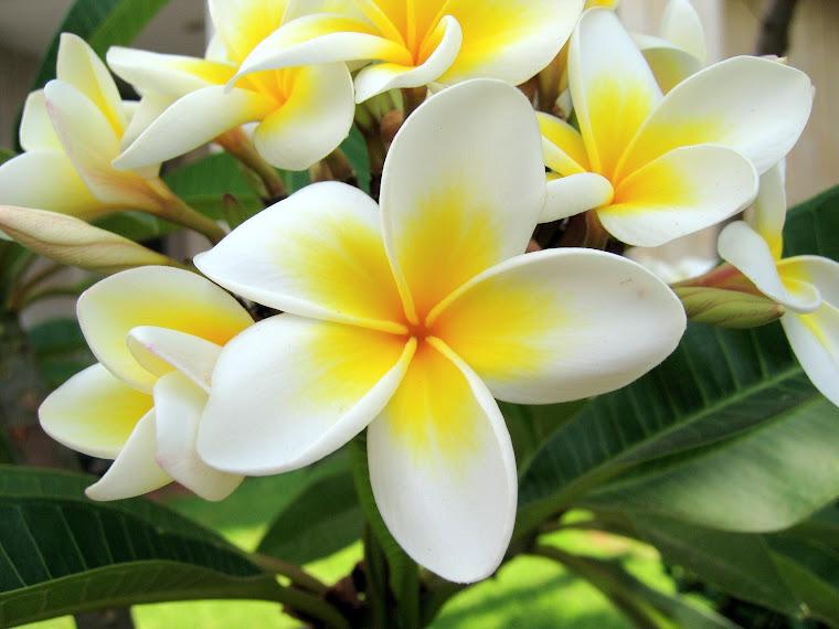 Bunga Kamboja Kuburan