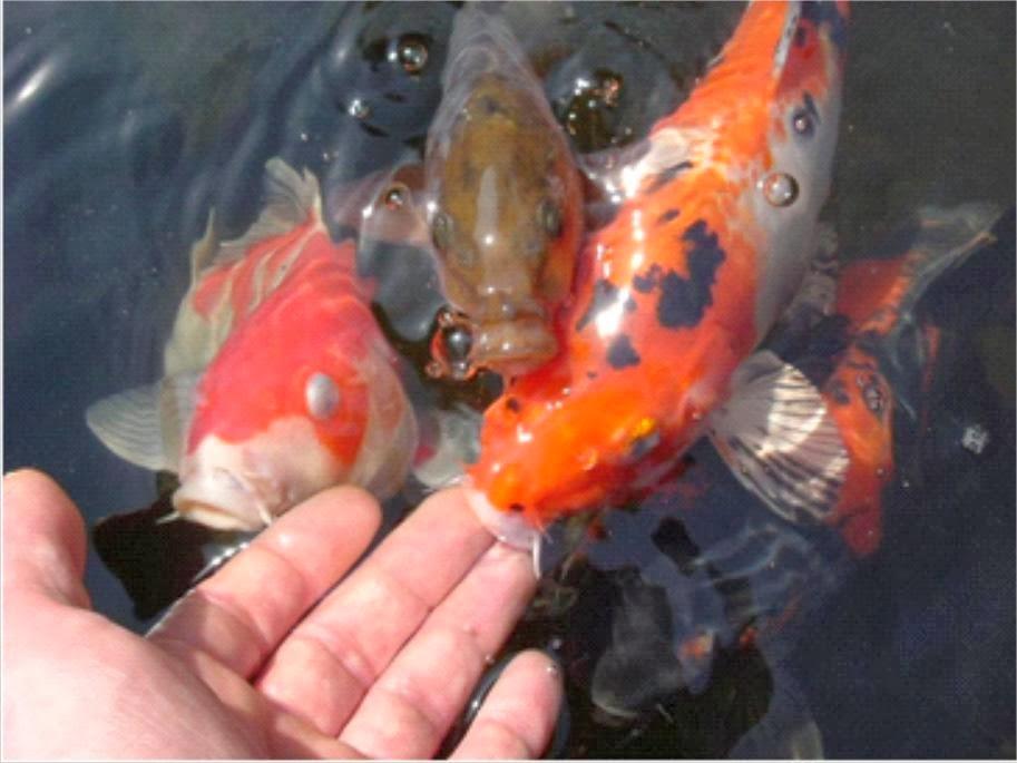 Persiapan untuk Proses Pemijahan Ikan Koi