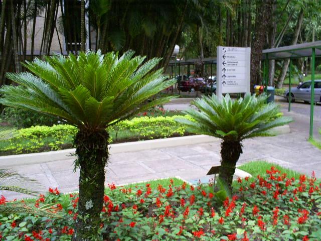 plantas para jardim londrina:Mudas Orlandi: Cicas, os fósseis vivos do Reino Vegetal