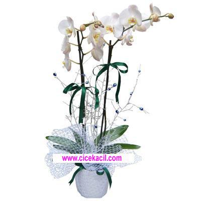 çift kök beyaz orkide