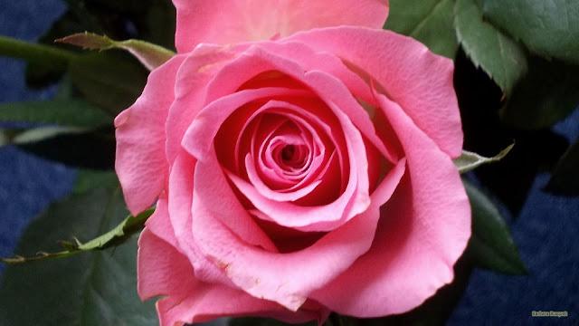 Roze roos op blauwe achtergrond