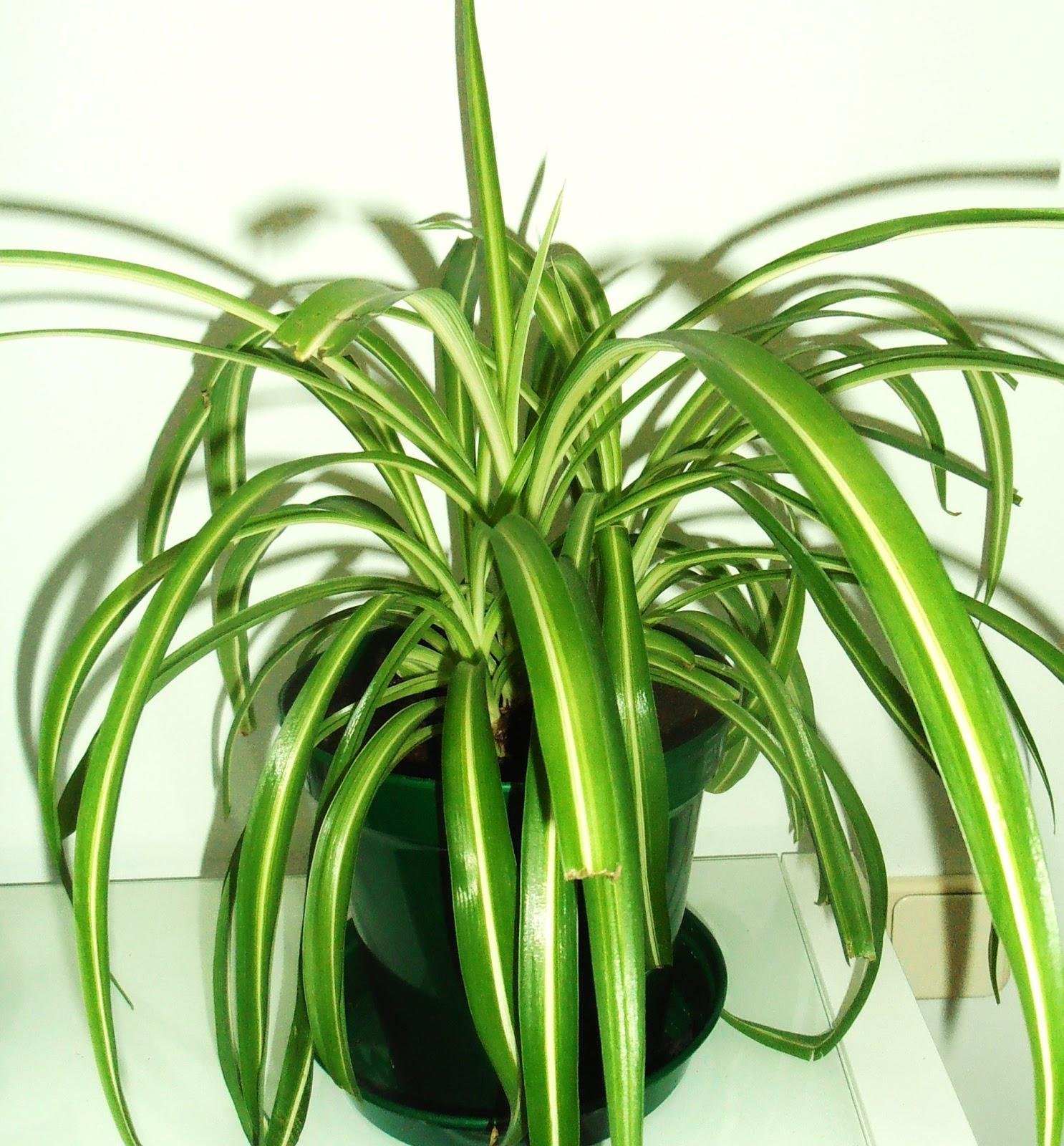 La ventana de javiruli trasplantar cinta chlorophytum - Cinta planta ...