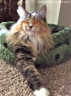 Blind long haired cat in her cat bed