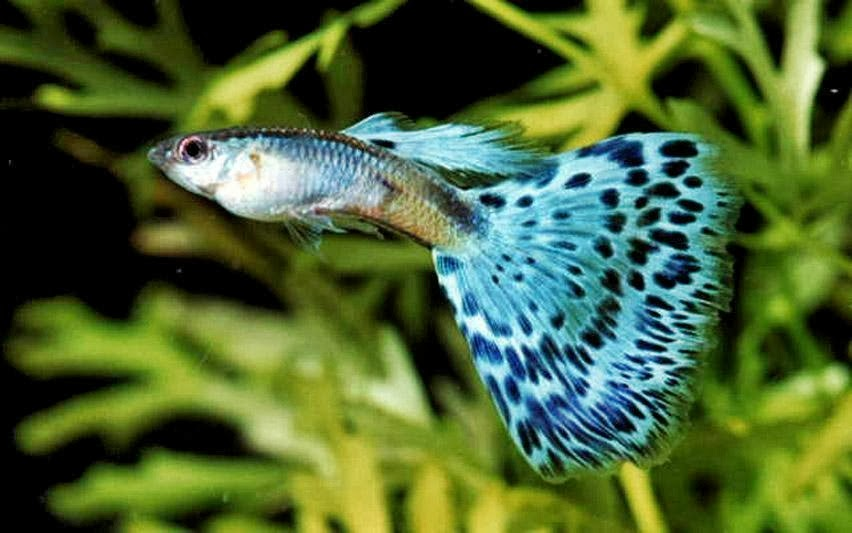 Budidaya Ikan Guppy - Miniaquarium