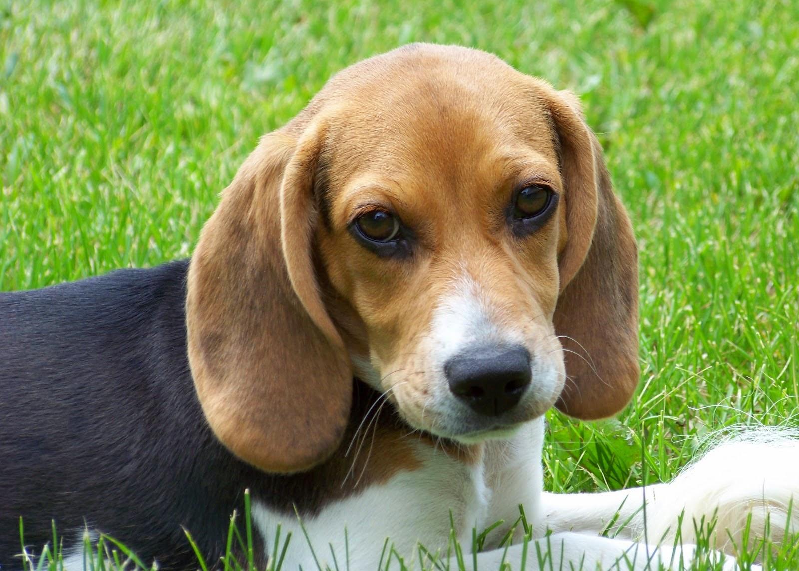 Beagle tidak hanya sebagai anjing pemburu namun juga pandai sebagai pelacak