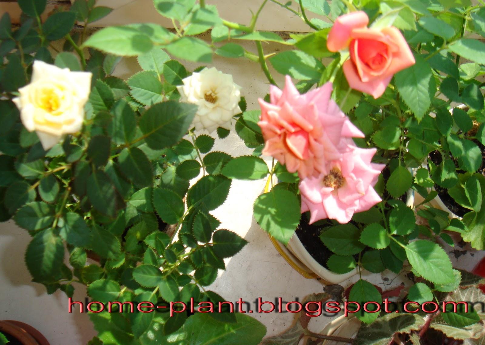 Чайные розы в домашних условиях фото