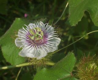bunga rambusa