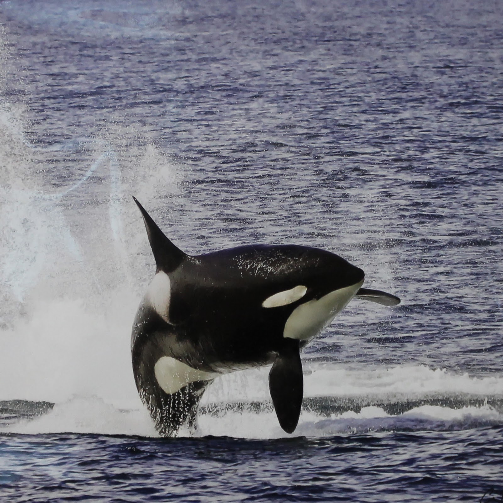 Captive Cetaceans Tragically Sad: Southern Resident Killer Whales