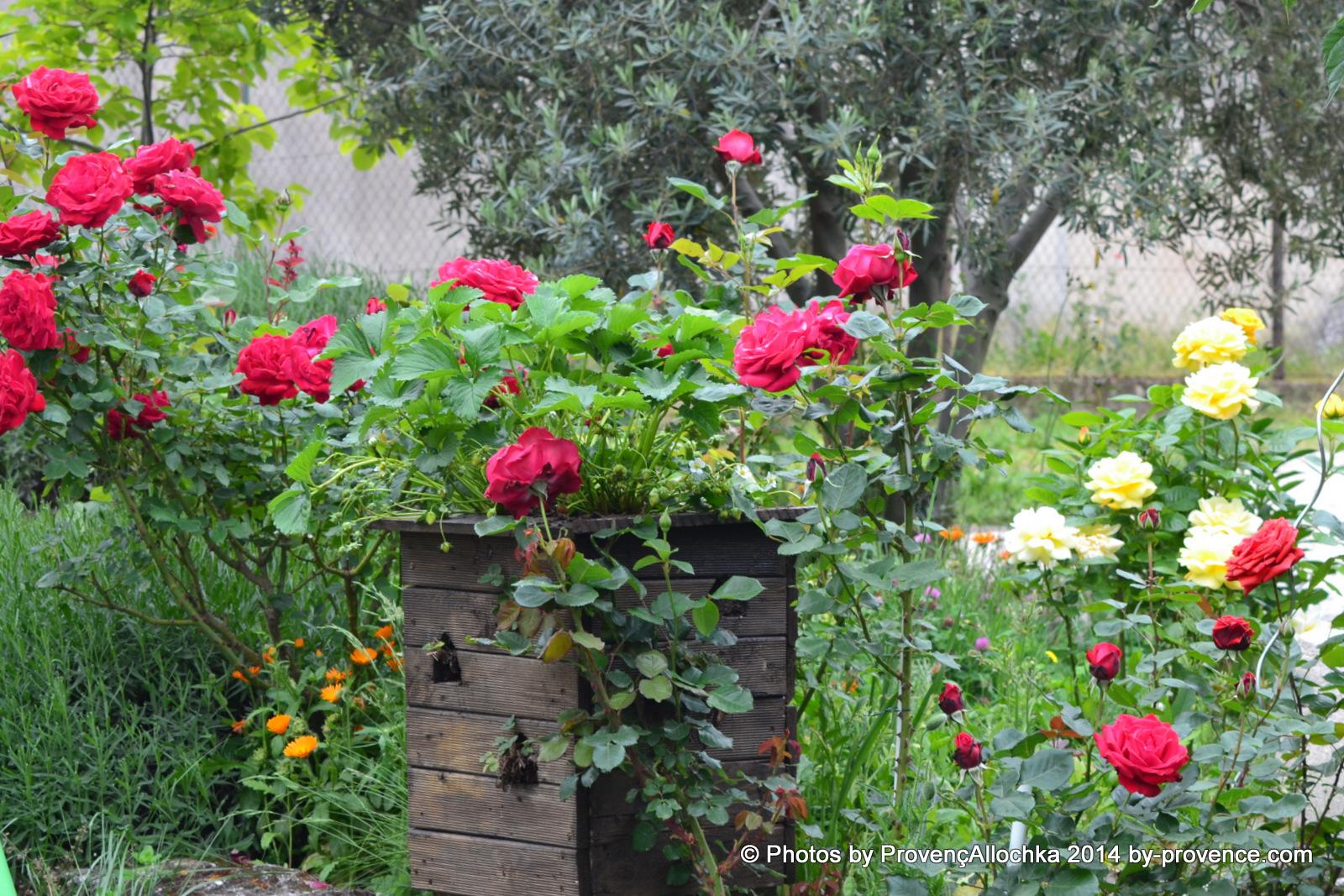 Rose ,Rouge,Grand ,Fleurs