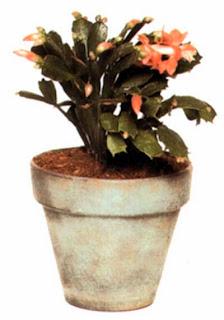 Гибриды зигокактуса (Zygocactus, или Schlumbergera) — лесные кактусы и лучше растут в светлом, защищенном от прямого солнца месте.
