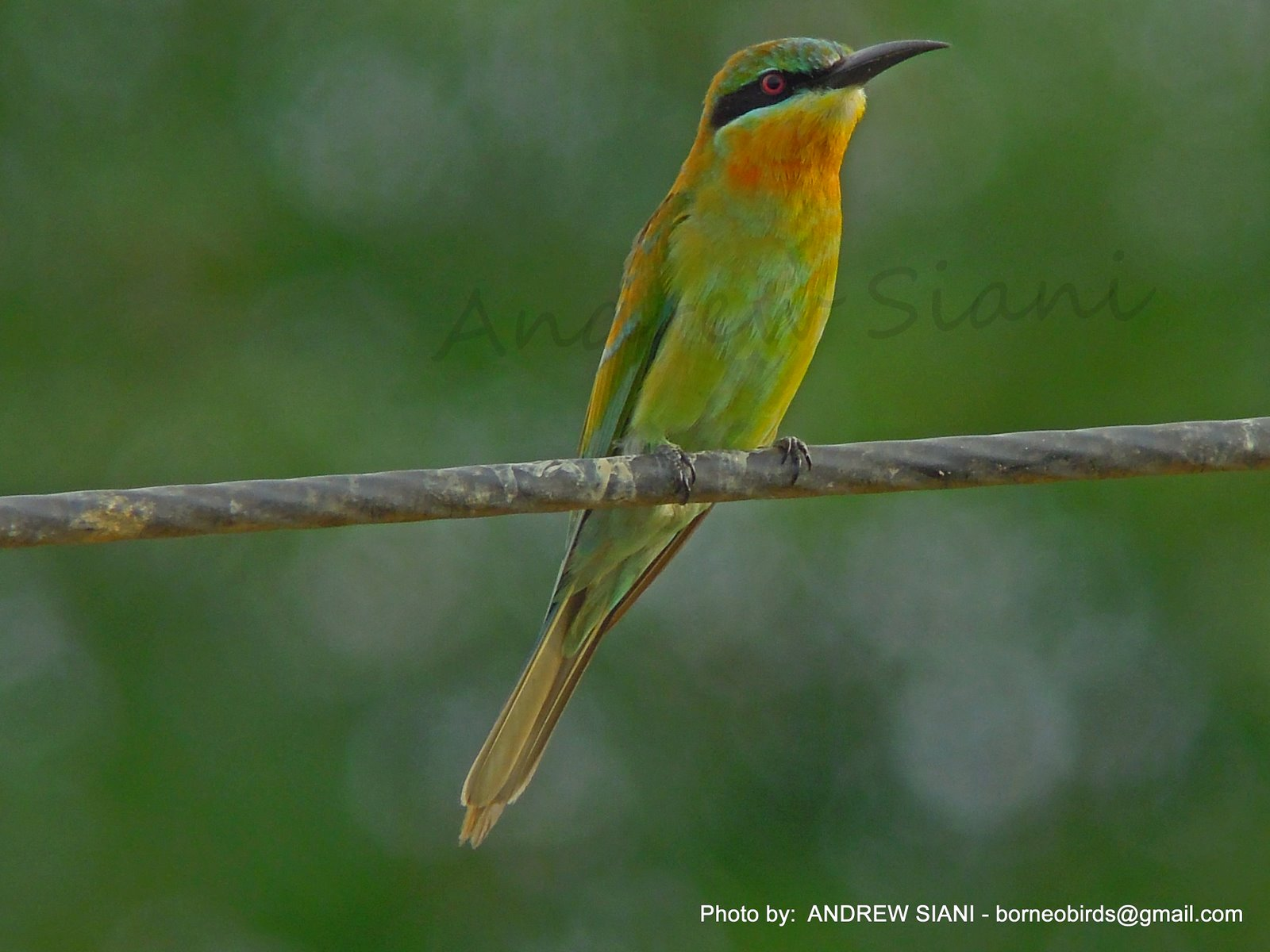 Borneo Avifauna: Blue-tailed Bee-Eater - Merops philippinus