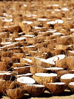 India: piantagioni di cocco di Cochi