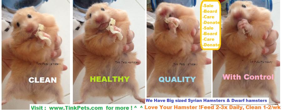 Tinky Hamstery, adoption , Buy hamster in singapore: Teddy Bear ...