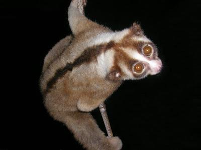 Foto Kukang Jawa
