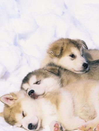 Alaskan Malamute Puppies Photos Puppies Pictures Online