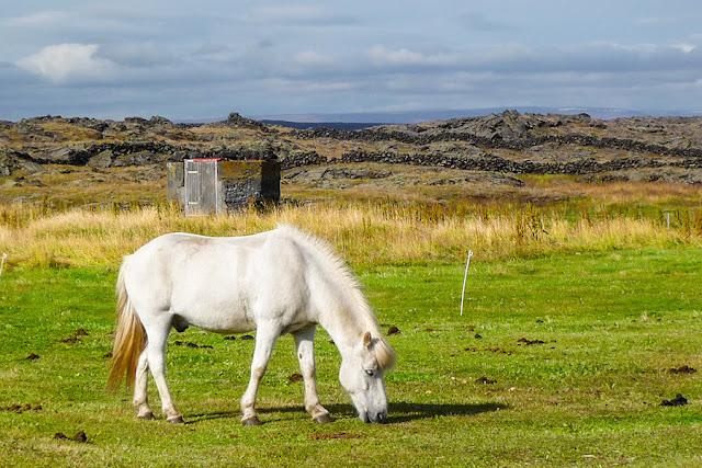 Kuc, koń islandzki - Kocewiak - Kartki z podróży