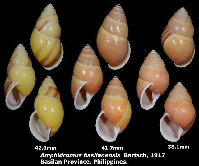 Amphidromus basilanensis 38.1 to 42.0mm