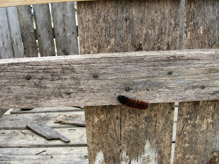woolly caterpillar