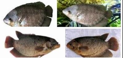 Cara Mudah Budidaya Ikan Gurame Di Kolam Terpal