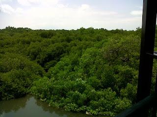 Pemandangan Hutan Bakau Dari Atas Menara