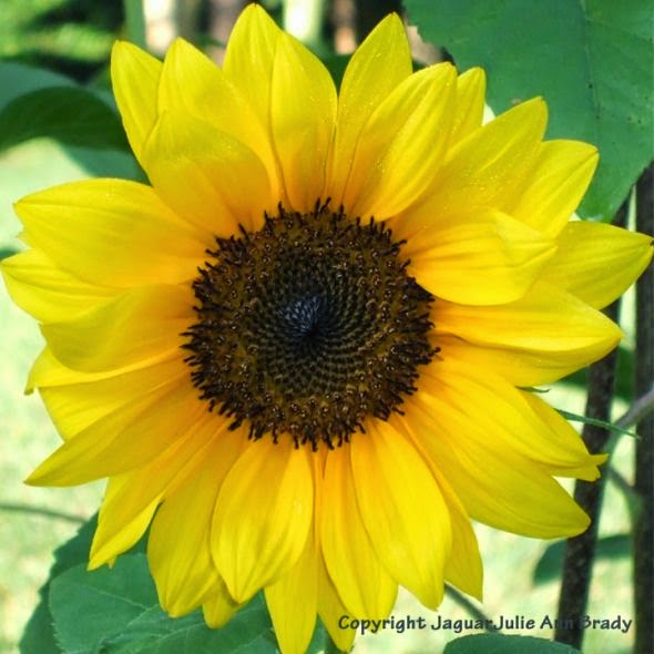 bright yellow sunflower blossom