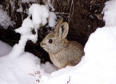 rabbit on snow