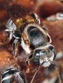 abelha tiuba  adapitada no sul