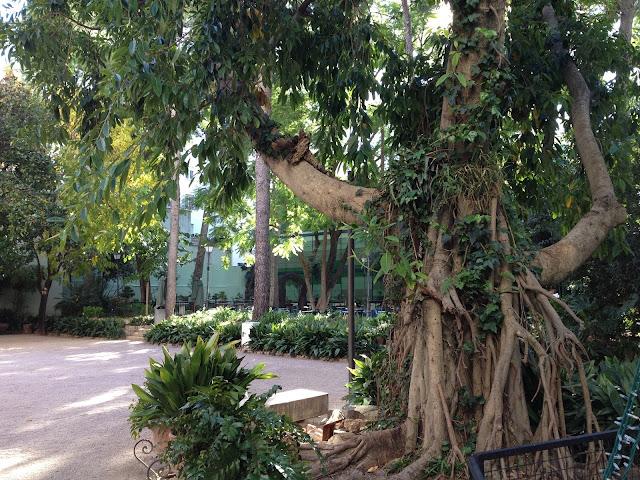 Ficus i jardí de la Marquesa Gandia