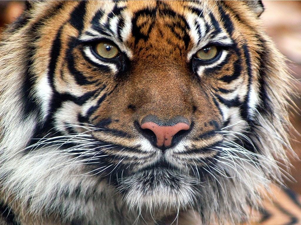 mirada-de-tigre