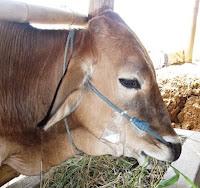 harga sapi qurban kambing kurban  2013 17